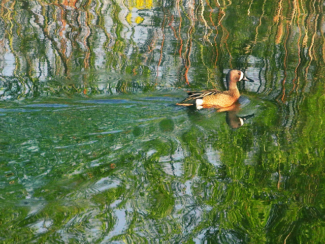 Blue Winged Teal Lost in the Watery World of a Painting by Monet