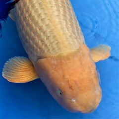 Chagoi bred by Hirasawa won Jumbo Champion at euregio koi Show 2012