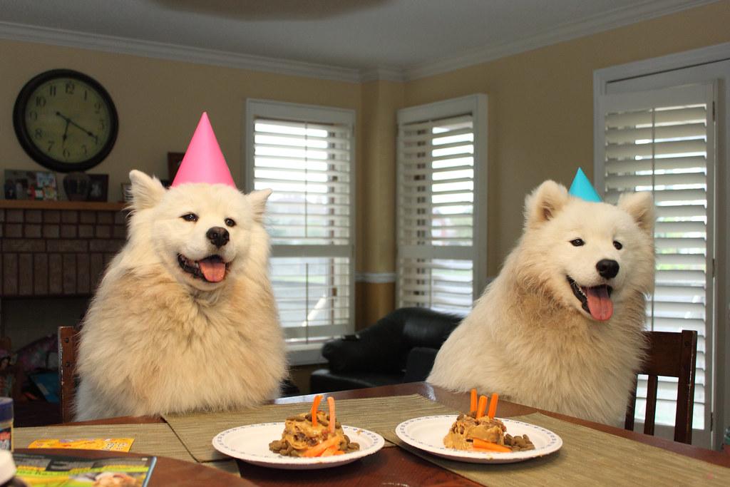 Resultado de imagen para samoyed party