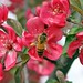 Honeybee And Flowering Crabapple Blossoms 001