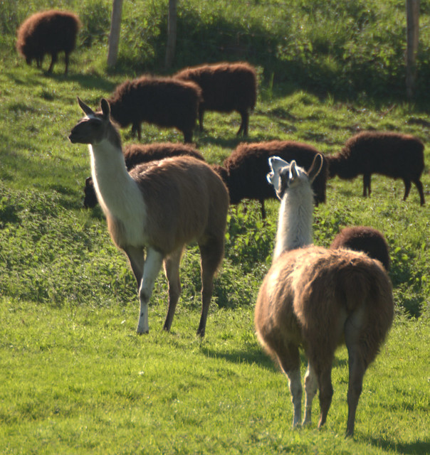 Sheep and Llamas - Flickr - Photo Sharing!