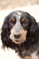 dog breed, animal, dog, pet, field spaniel, russian spaniel, english cocker spaniel, picardy spaniel, spaniel, carnivoran,