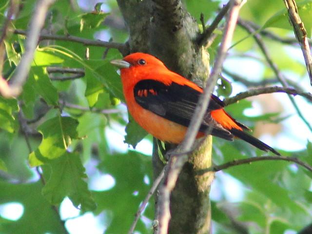 Scarlet Tanager 4-20120513