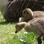 Goslings at Westport Lake - 2012 May