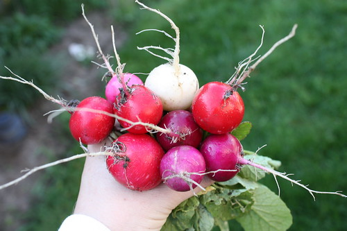 Easter Egg II Radishes