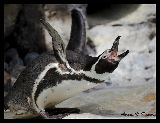 Humboldt Penguin (Spheniscus humboldti) | Flickr - Photo Sharing!