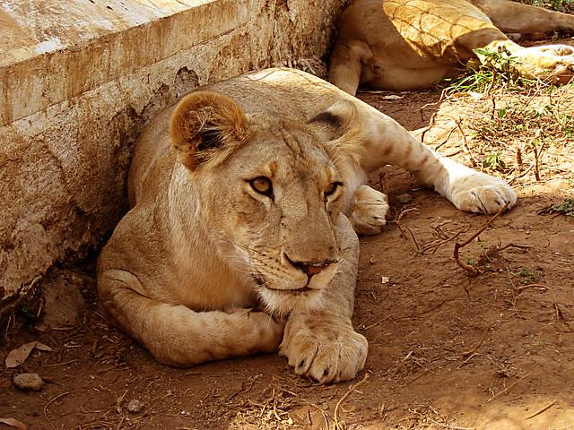 majestic lions