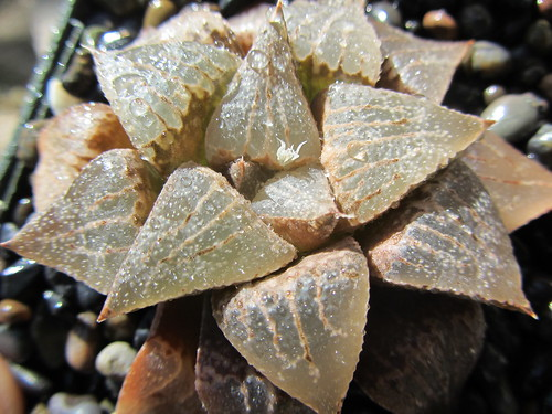 Haworthia emelyae  (4) by Kris and Greg