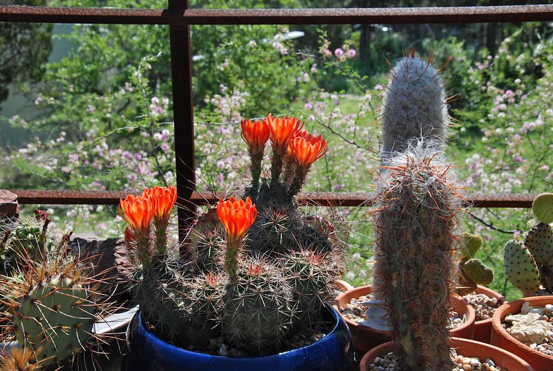 Claret cup cactus and two old men
