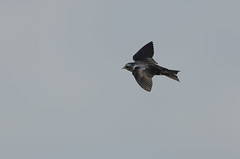 Purple Martin_4695.jpg by Mully410 * Images
