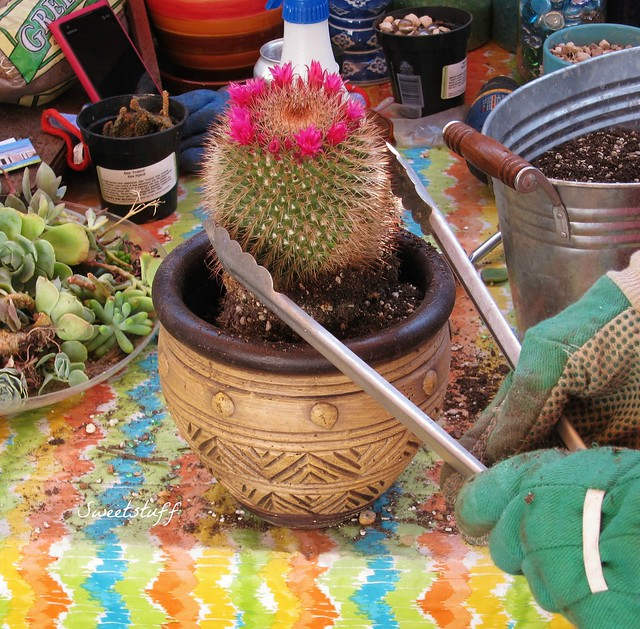 Cactus tongues