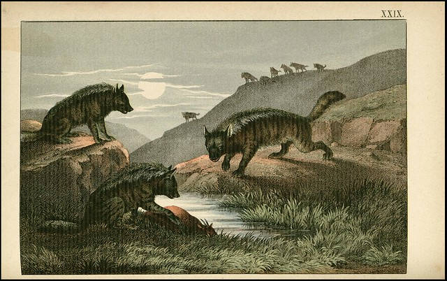 zoological chromolithograph - L'hyène