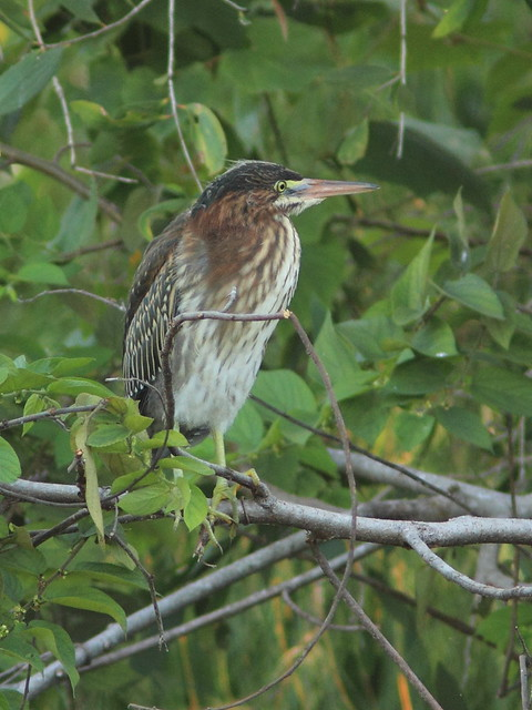 Green Heron juvenile at culvert nest #22.5 non-HT 20120610