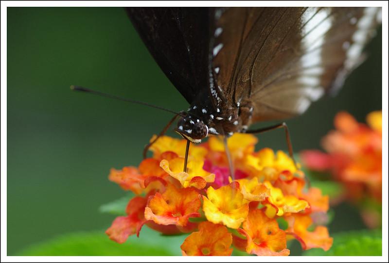 百微中的蝴蝶