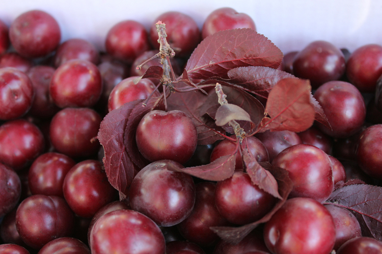 Cherry Plums IMG_7253
