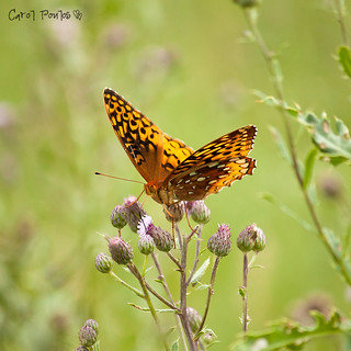 Great Spangled Fritillary III