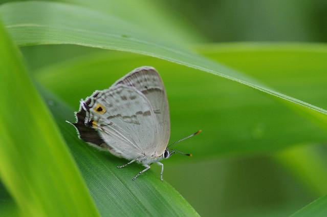 Favonius saphirinus
