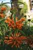 176/366 Lion's Tail (Leonotis menthifolia)