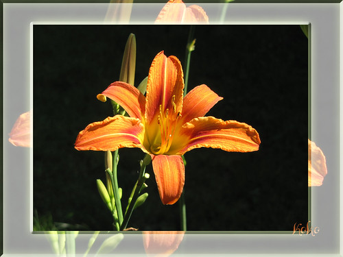 daylily on black