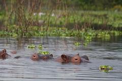 wetland, animal, hippopotamus, fauna, wildlife,