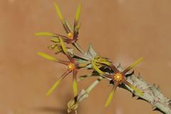 Orbea wissmannii var. eremastrum (Schwartz) Bruyns (Apocynaceae: Asclepiadoideae)
