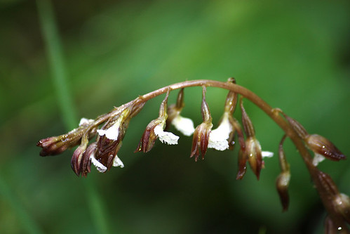 Spotted Coralroot (Corallorhiza maculata)