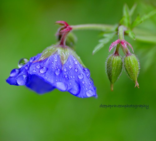 "MAzha/raindrops in Anagallis arvensis blue/""Everything, absolutely everything on this earth makes sense, and even the smallest things are worthy of our consideration.""  ― Paulo Coelho, The Witch Of Portobello by {deepapraveen very busy with work..back soon"
