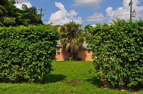 Ficus benjamina - Hedge