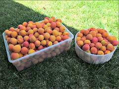 Apricot harvest, 7/13