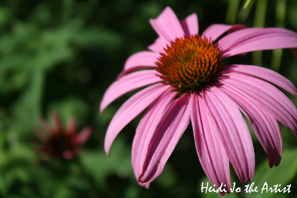 Purple Coneflower 5
