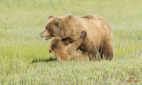 Cub Tussles with Mother Bear