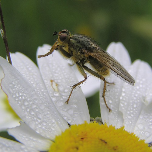 A identifier - Diptère Asilidae - 28/05/12