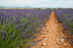 Lavender fields in Provence 2