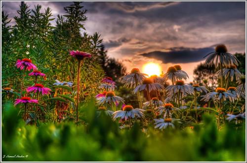 flowers sunset vermont brattleborovt d5100