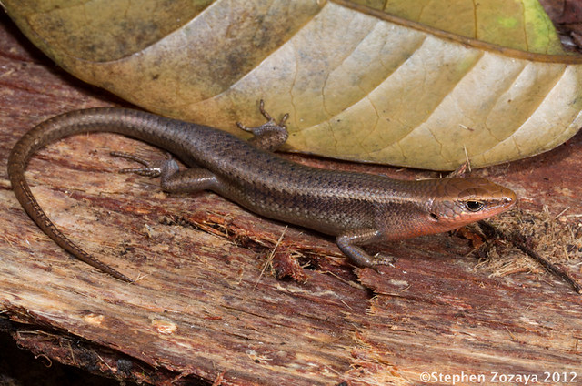 how to catch a garden skink