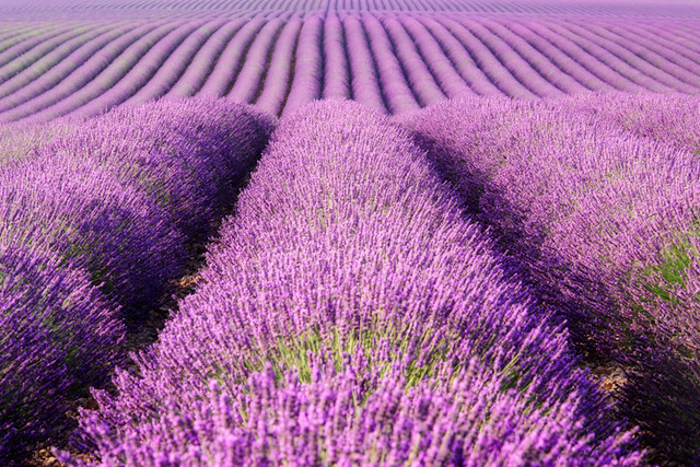 Rolling Hills of Purple
