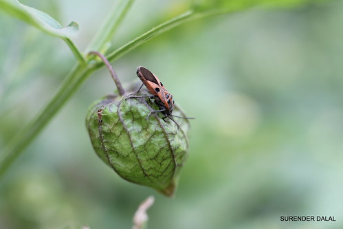 SEED BUG by ~skd~