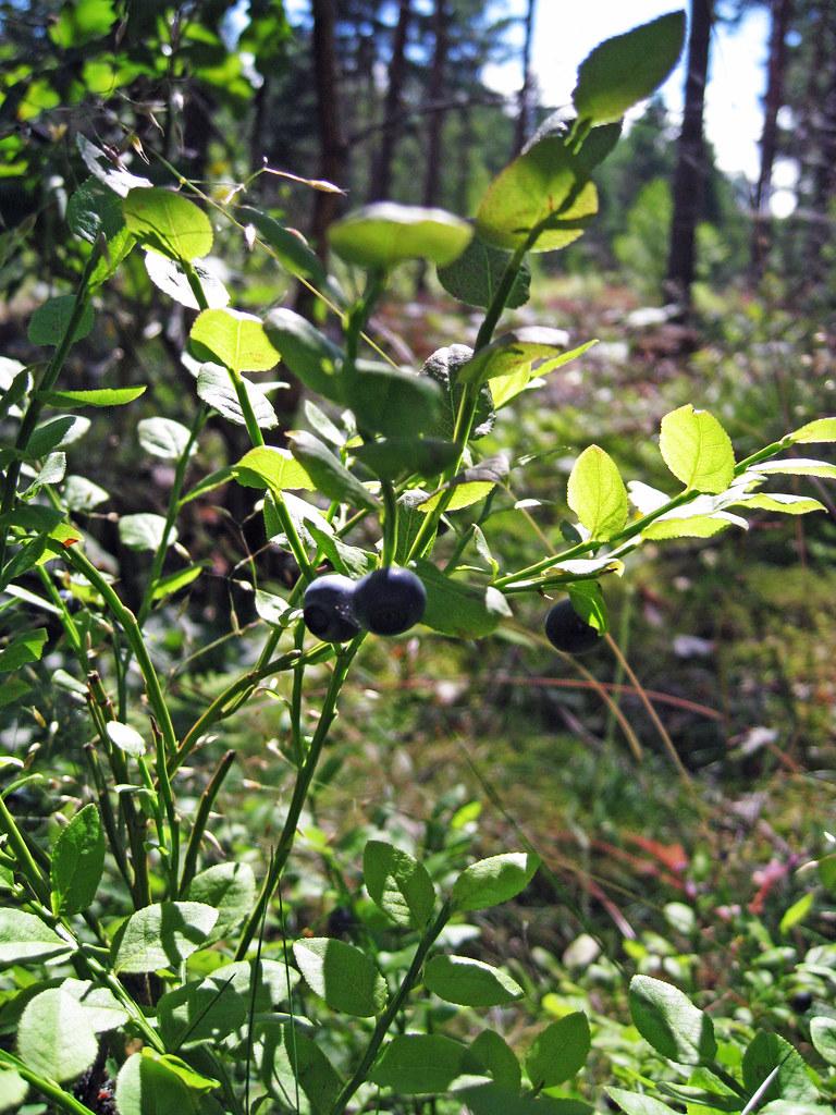 Mälsåkers slott JULI2012 i blåbärsskogen 1