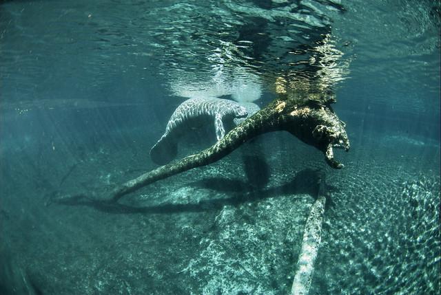 Refugio Nacional de Vida Salvaje de Crystal River, Florida
