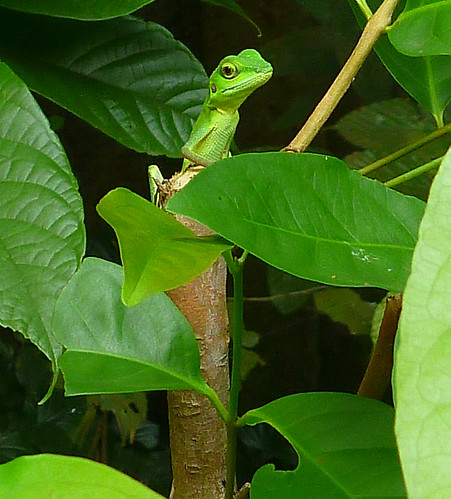 Green-crested Lizard