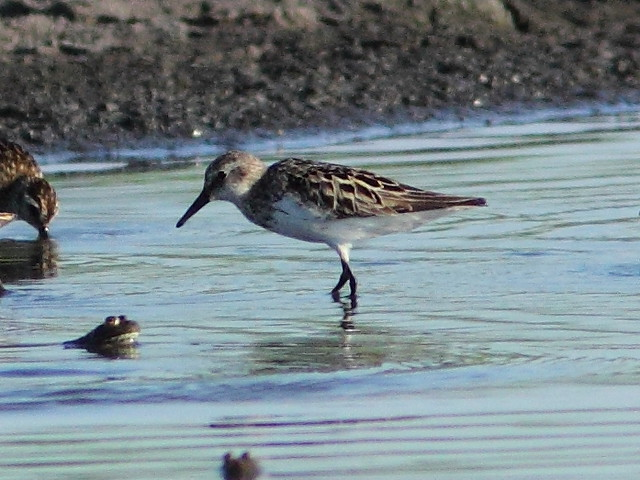 Possible Pectoral Sandpiper  20120717