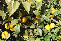 shrub, calamondin, branch, yellow, meyer lemon, flora, fruit, citron,