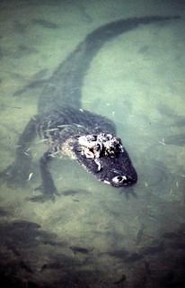 "Alligator in the ""Blue Hole"" pond: Big Pine Key, Florida"