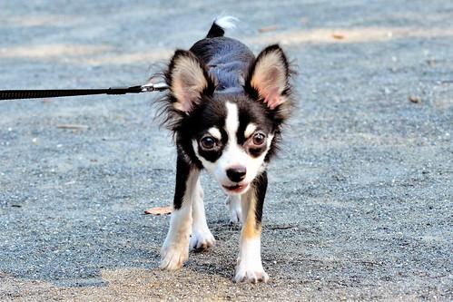 チワワ (Chihuahua, Dog)