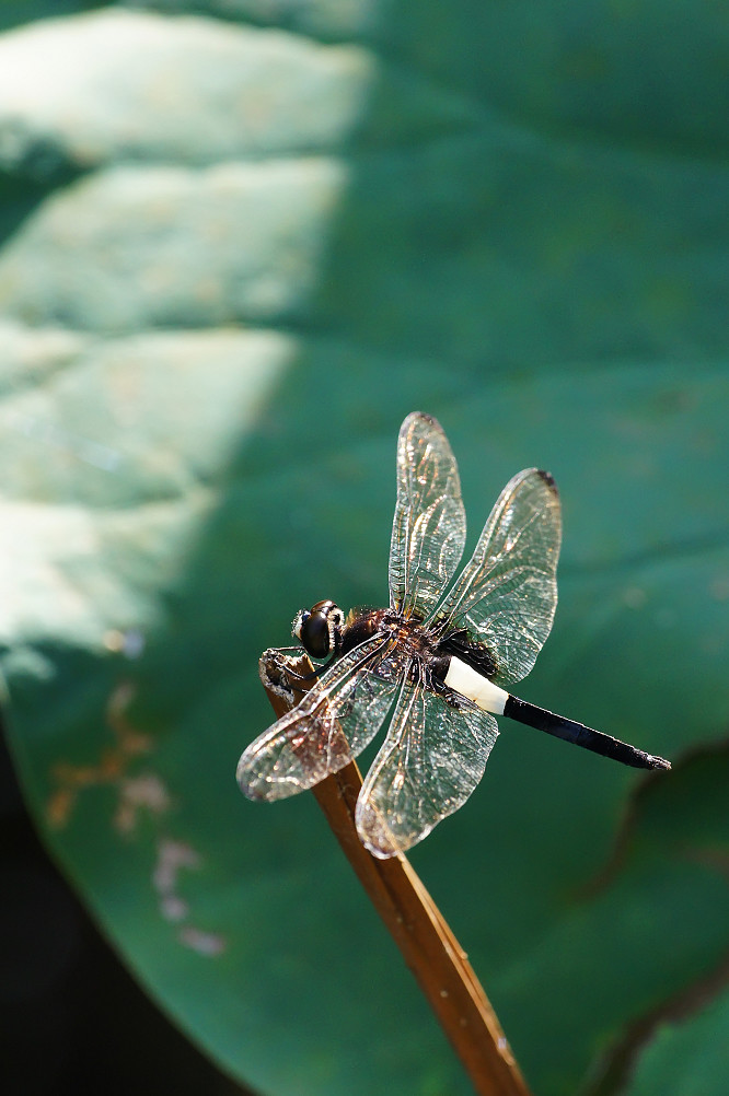 27-黃紉蜻蜓雄-2