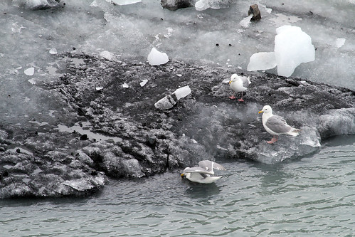Glacier Bay - Birds on Ice