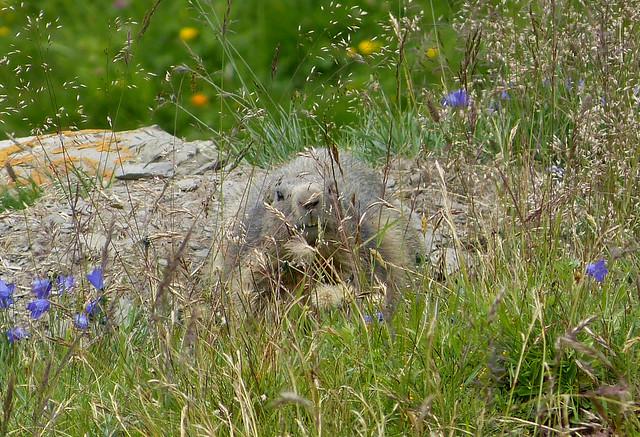Marmot, Switzerland