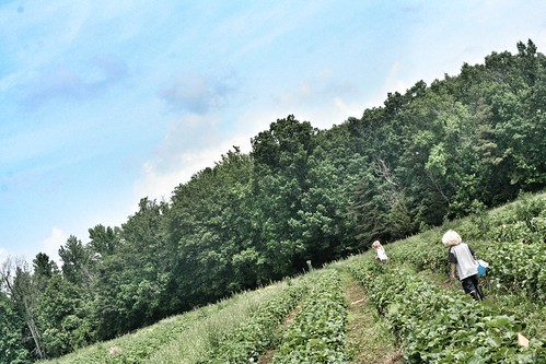 StrawberryPicking2