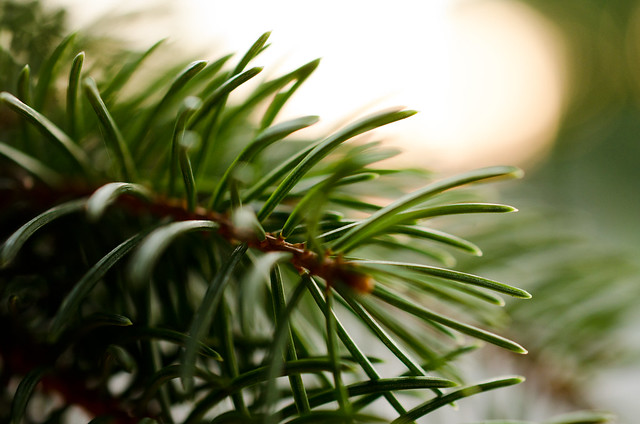 More pine needles and sunset