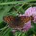 False Heath Fritillary (Alan Miller)